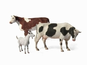 Domestic Animals (2 Cows & 1 Goat)